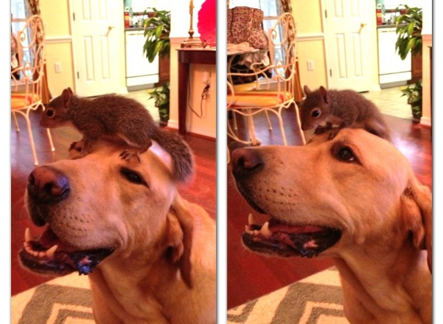 Double Lab and Squirrel